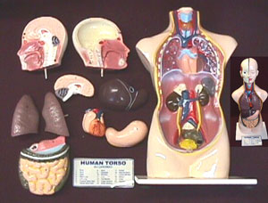 Model of the Torso(Display model )
