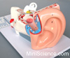 Model of the Ear